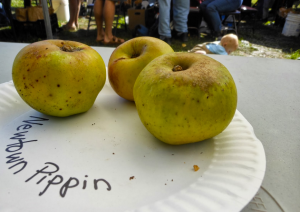 Newtown Pippin Apples at Wilder Ranch Heirloom Harvest Festival, October 2012