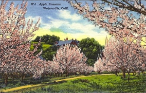 Postcard featuring Watsonville Apple Blossoms, date unknown copyright 2000, 2001, 2002 Santa Cruz Public Libraries, California.